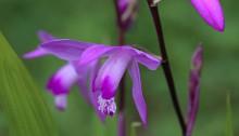 しらん(紫蘭)Bletilla striata (2)