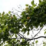 ゆりのき(百合の木)Liriodendron tulipifera (4)