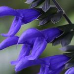 サルビア・ガラニティカ Salvia guaranitica (3)