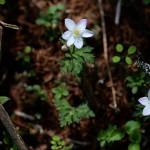 にりんそう(二輪草)Anemone flaccida