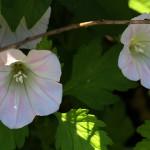 ひるがお(昼顔)Calystegia japonica (4)