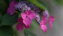額紫陽花 Hydrangea macrophylla f.normalis (3)