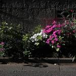 せきちく(石竹)Dianthus chinensis (4)