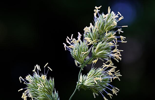 842.かもがや(鴨茅)Dactylis glomerata (3)