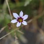 にわぜきしょう (庭石菖)Sisyrinchium rosulatum (4)