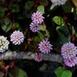 ひめつるそば(姫蔓蕎麦)Persicaria capitata (3)