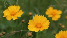 おおきんけいぎ大金鶏菊)Coreopsis lanceolata (1)