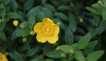 きんけいばい(金糸梅)Hypericum patulum (2)