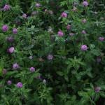 あかつめくさ (赤詰草)Trifolium pratense