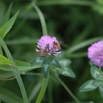860.あかつめくさ (赤詰草)Trifolium pratense
