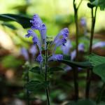 こばのたつなみそう小葉の立浪草)Scutellaria indica var. parvifolia (7)