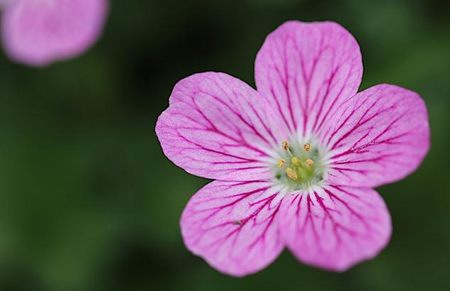 エゾフウロウ?蝦夷風露)Geranium yezoense (2)