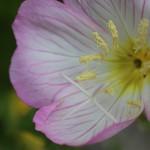ひるざきつきみそう(昼咲月見草)Oenothera speciosa