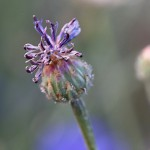 やぐるまぎく(矢車菊)Centaurea cyanus (8)