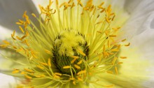 ひなげし(雛罌粟)Papaver rhoeas (2)