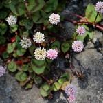 ひめつるそば(姫蔓蕎麦)Persicaria capitata (1)