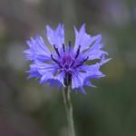 やぐるまぎく(矢車菊)Centaurea cyanus