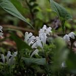 こばのたつなみそう小葉の立浪草)Scutellaria indica var. parvifolia (6)