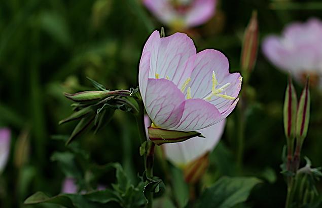 ひるざきつきみそう(昼咲月見草)Oenothera speciosa (3)