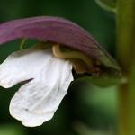 アカンサスモリスAcanthus (1)