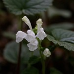こばのたつなみそう小葉の立浪草)Scutellaria indica var. parvifolia (5)
