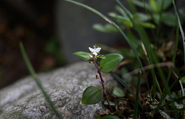 ときわつゆくさ常磐露草)Tradescantia fluminensis (3)