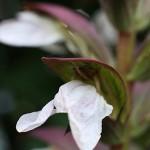 アカンサスモリスAcanthus (2)