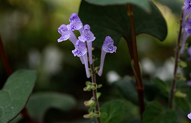 こばのたつなみそう小葉の立浪草)Scutellaria indica var. parvifolia (8)
