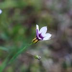にわぜきしょう (庭石菖)Sisyrinchium rosulatum