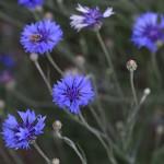 やぐるまぎく(矢車菊)Centaurea cyanus (5)
