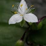 ときわつゆくさ常磐露草)Tradescantia fluminensis (4)