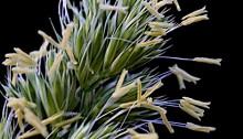 842.かもがや(鴨茅)Dactylis glomerata (2)