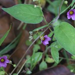 にわぜきしょう (庭石菖)Sisyrinchium rosulatum (3)