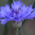やぐるまぎく(矢車菊)Centaurea cyanus (7)