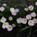 ひるざきつきみそう(昼咲月見草)Oenothera speciosa (5)
