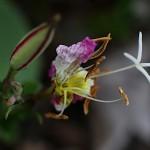 ひるざきつきみそう(昼咲月見草)Oenothera speciosa (2)