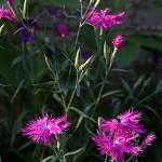 せきちく(石竹)Dianthus chinensis (3)
