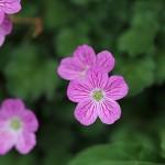 エゾフウロウ?蝦夷風露)Geranium yezoense (1)