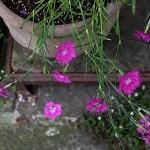 せきちく(石竹)Dianthus chinensis