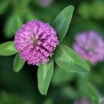 あかつめくさ (赤詰草)Trifolium pratense (2)