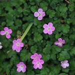 エゾフウロウ?蝦夷風露)Geranium yezoense