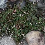 ひめつるそば(姫蔓蕎麦)Persicaria capitata (4)