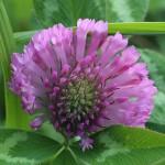 あかつめくさ (赤詰草)Trifolium pratense (4)