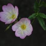 ひるざきつきみそう(昼咲月見草)Oenothera speciosa (8)