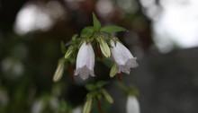 ほたるぶくろ(蛍袋)Campanula punctata Lam (3)