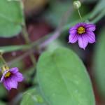 にわぜきしょう (庭石菖)Sisyrinchium rosulatum (2)