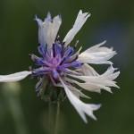 やぐるまぎく(矢車菊)Centaurea cyanus (4)