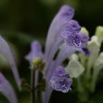 こばのたつなみそう小葉の立浪草)Scutellaria indica var. parvifolia (3)