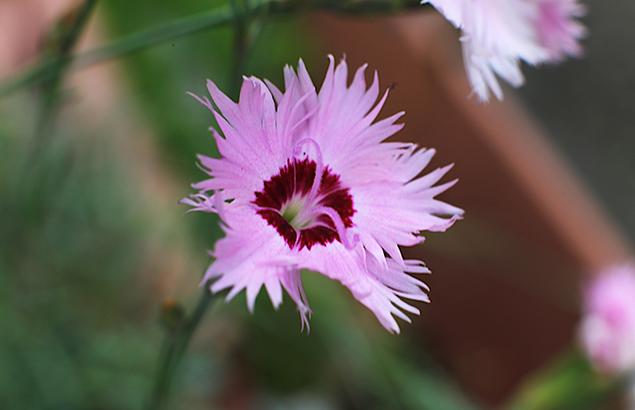せきちく(石竹)Dianthus chinensis (1)