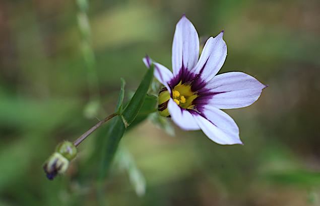 にわぜきしょう (庭石菖)Sisyrinchium rosulatum (1)